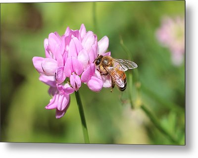 Honeybee On Crown Vetch Metal Print
