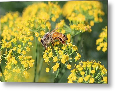 Honeybee On Dill Metal Print