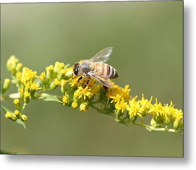 Honeybee On Goldenrod Twig Metal Print