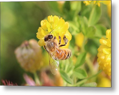 Honeybee On Hop Clover Metal Print