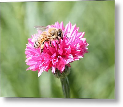 Honeybee On Pink Bachelor's Button Metal Print