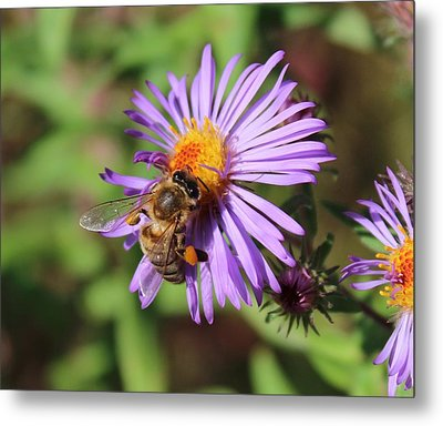 Honeybee On Purple Wild Aster Metal Print