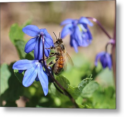 Honeybee On Siberian Squill Metal Print