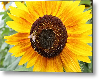 Honeybee On Small Sunflower Metal Print