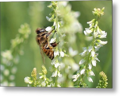 Honeybee On Sweet Clover Metal Print by Lucinda VanVleck