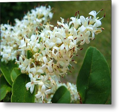 Metal Print featuring the photograph Honeysuckle #1 by Robert ONeil