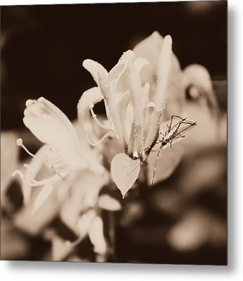 Honeysuckle Surprise Metal Print