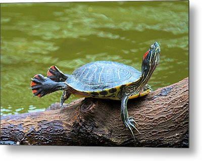 Hong Kong, A Painted Turtle Stretches Metal Print by Richard Wright