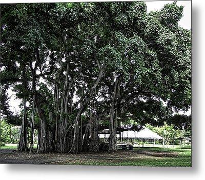 Honolulu Banyan Tree Metal Print by Daniel Hagerman