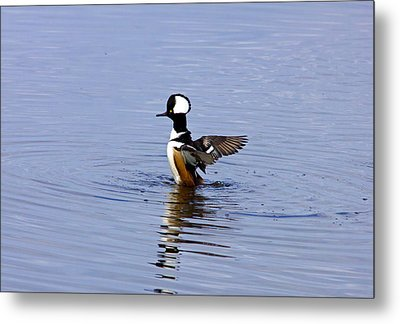 Hooded Merganser Metal Print by Wild Expressions Photography