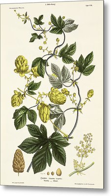 Hop Vine From The Young Landsman Metal Print