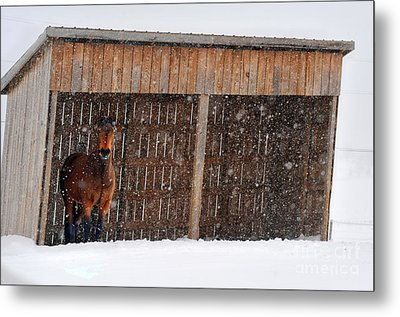 Horse Looking At Snow Storm Metal Print by Dan Friend