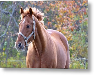 Metal Print featuring the photograph Horse Muscle by Glenn Gordon