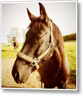 Horse Portrait Metal Print by Matthias Hauser