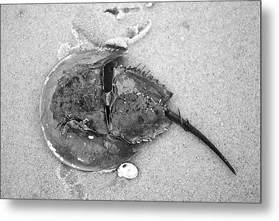 Horseshoe Crab At Red River Beach Cape Cod Metal Print by Suzanne Powers