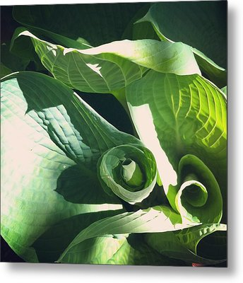 Hosta Curl Metal Print by Stephanie Aarons