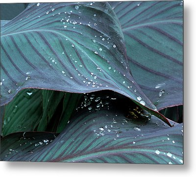 Hosta Leaf With Dew, Close-up Metal Print by Anna Miller