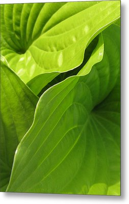 Hosta Leaves Metal Print by Tracy Male