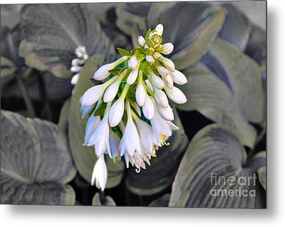 Hosta Ready To Bloom Metal Print