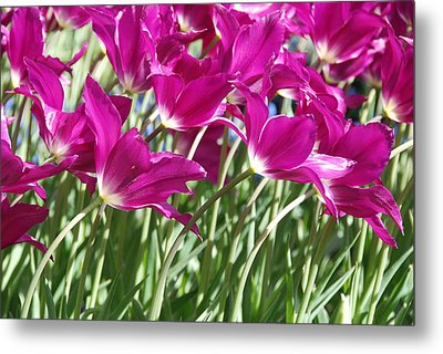 Metal Print featuring the photograph Hot Pink Tulips 2 by Allen Beatty