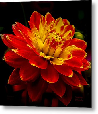 Hot Red Dahlia Metal Print