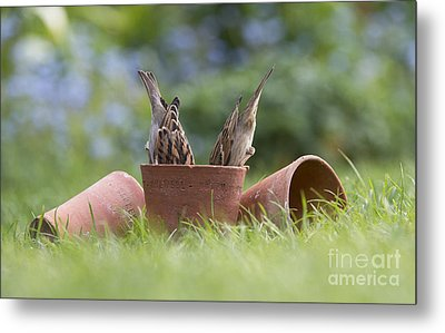 House Sparrows Feeding Metal Print by Tim Gainey
