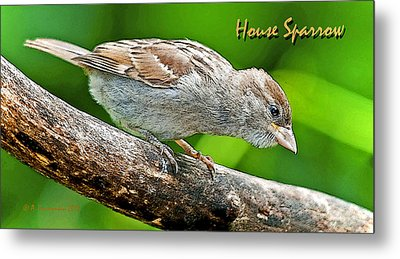 Metal Print featuring the photograph House Sparrow Juvenile Poster Image by A Gurmankin