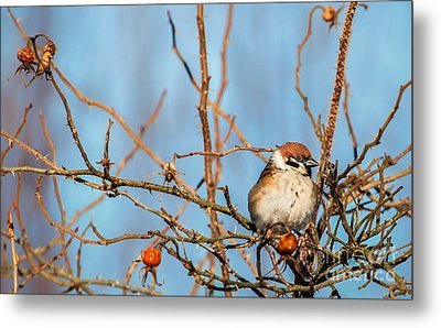 Metal Print featuring the photograph House Sparrow by Rose-Maries Pictures