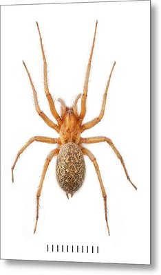 House Spider Metal Print by Natural History Museum, London