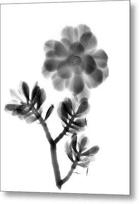 Houseleek And Foliage Metal Print by Albert Koetsier X-ray