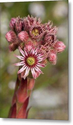 Houseleek (sempervivum Tectorum) Flowers Metal Print by Bob Gibbons