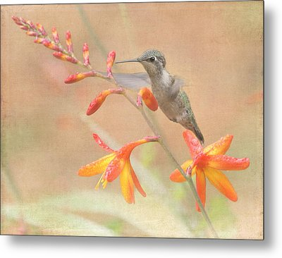 Hovering In The Crocosmia Metal Print