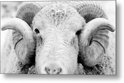 Metal Print featuring the photograph How Ewe Doin by Courtney Webster