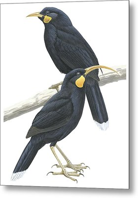Huia Metal Print by Anonymous