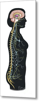 Human Body Showing Autonomic Nervous Metal Print by TriFocal Communications
