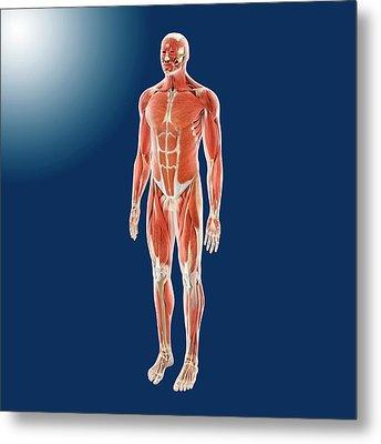 Human Musculature Metal Print by Springer Medizin