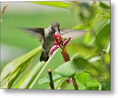 Metal Print featuring the photograph Hummer At The Rose by Debby Pueschel