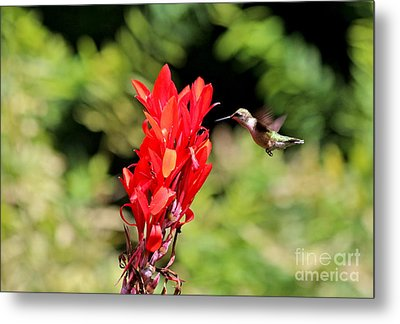 Hummingbird 1 Metal Print by Jay Nodianos