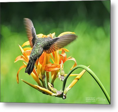 Metal Print featuring the photograph Hummingbird At Lunchtime by David Perry Lawrence
