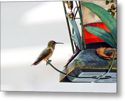 Hummingbird At Rest Metal Print by Adria Trail