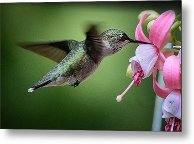 Hummingbird Carbs Metal Print by Amy Porter