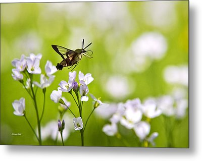 Hummingbird Clearwing Moth Flying Away Metal Print by Christina Rollo
