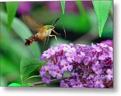 Hummingbird Clearwing Moth Metal Print by Gary Keesler