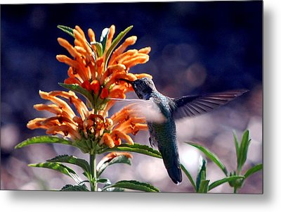 Hummingbird Delight Metal Print by AJ  Schibig