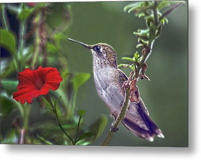 Hummingbird Delight Metal Print by Sandi OReilly