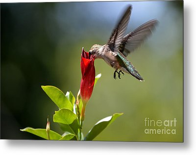 Hummingbird Dipping Metal Print by Debbie Green
