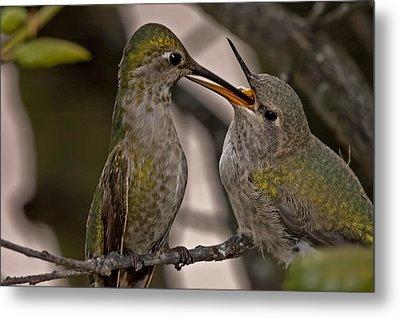 Hummingbird Feeding Baby Metal Print by Lee Kirchhevel