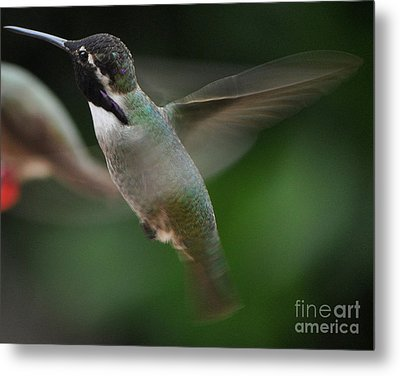 Metal Print featuring the photograph Hummingbird Male Anna In Flight Over Perch by Jay Milo