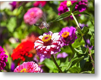 Hummingbird Flight Metal Print