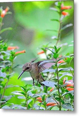 Hummingbird Forward Feet Flies Metal Print